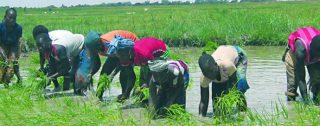 Repiquage riz niono office Niger MALI