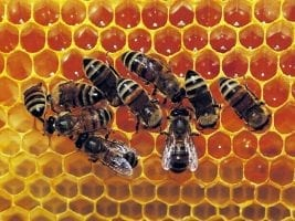 miel afrique abeilles
