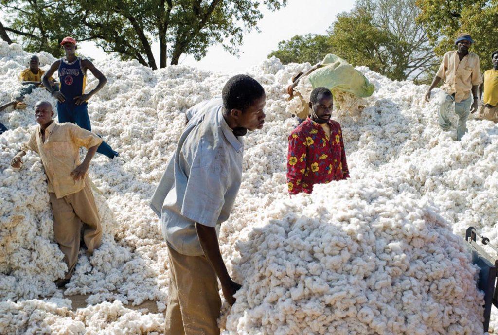 Région de Houndé. Récolte du Coton.