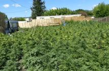 Haschisch, cannabis, culture, légal, export, zimbabwe