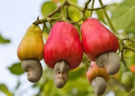 Anacarde : La Côte d'Ivoire lance un vaste projet de transformation pour éviter les erreurs commises dans le cacao et le café