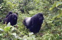 Rwanda, Gorilles, Montagnes, Tourismes